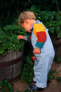 Picture of young boy picking strawberries