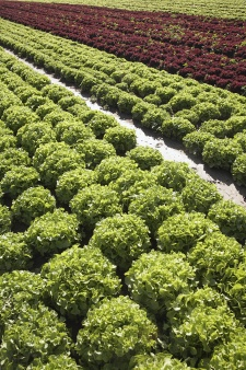 Photo of a field of lettuce greens
