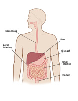 Illustration of adult digestive tract