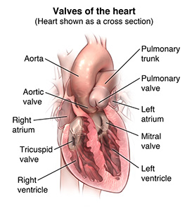 Illustration of the heart and heart valves